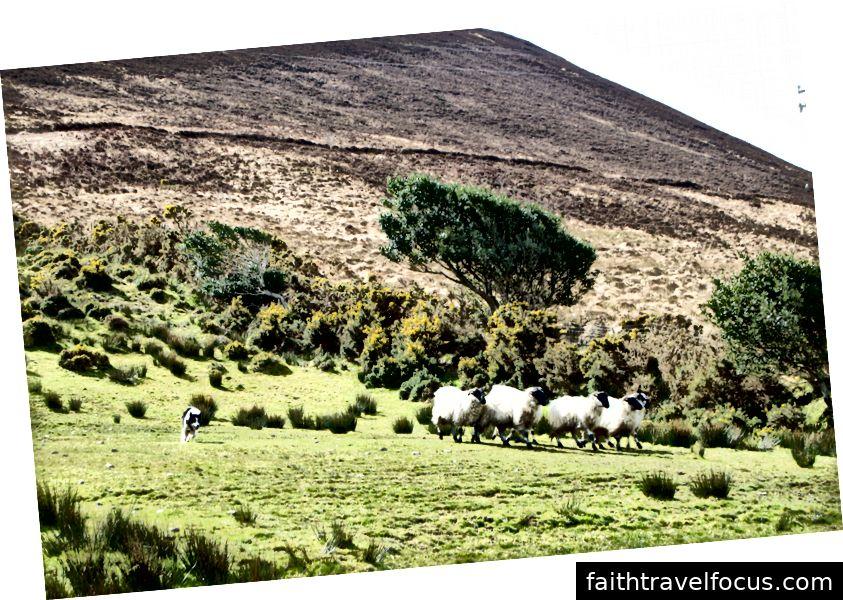 Cún Một con chó chăn cừu nó chăn cừu cừu trong vòng Kerry. Voi - Hannah Gorin, MU Điều dưỡng 2019